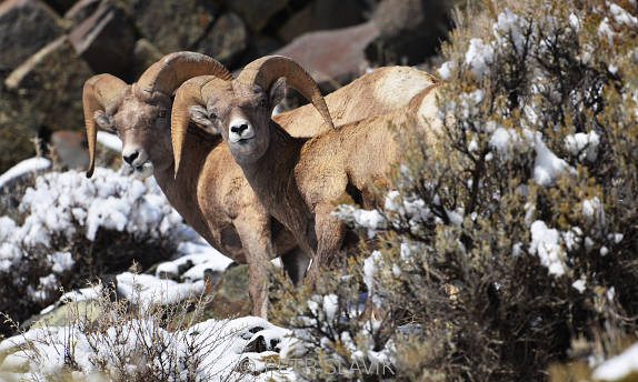 Yellowstone - kozorožci
