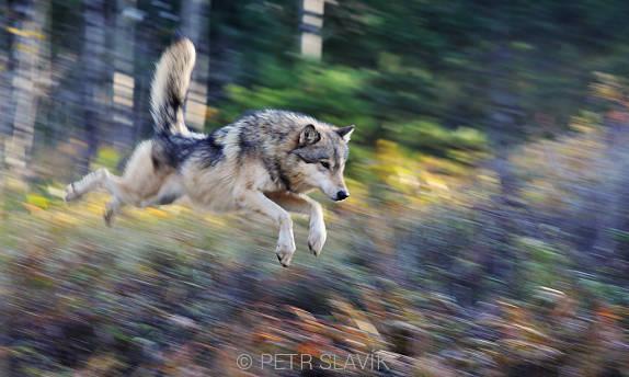 Yellowstone - vlk ve skoku